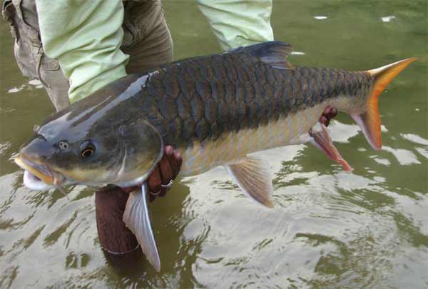 Otter Reserves guide holding Redfin mahseer