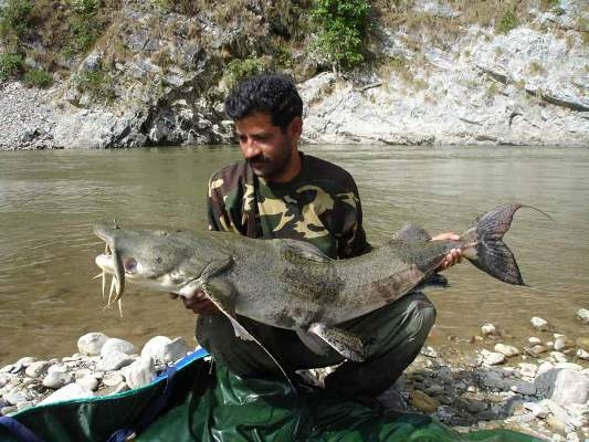 Goonch being handled responsibly by fishing guide